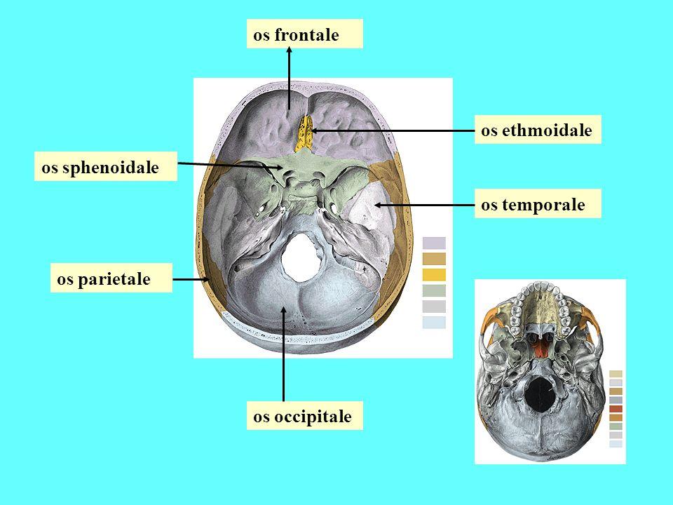 os frontale os ethmoidale os sphenoidale os temporale os parietale os occipitale