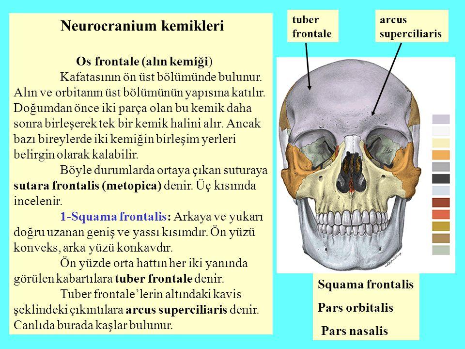 Neurocranium kemikleri