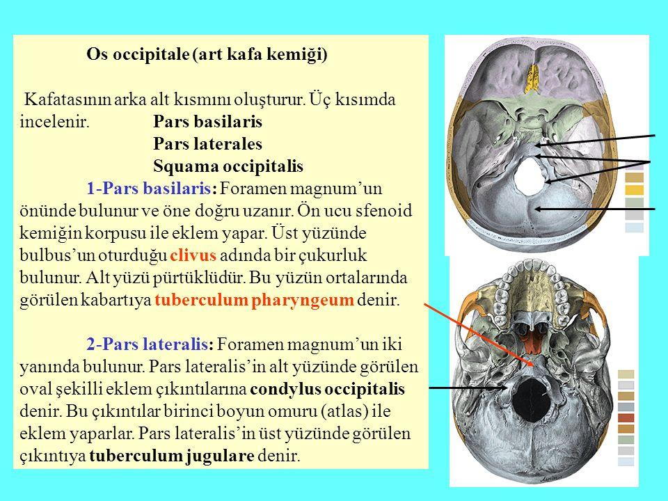 Os occipitale (art kafa kemiği)