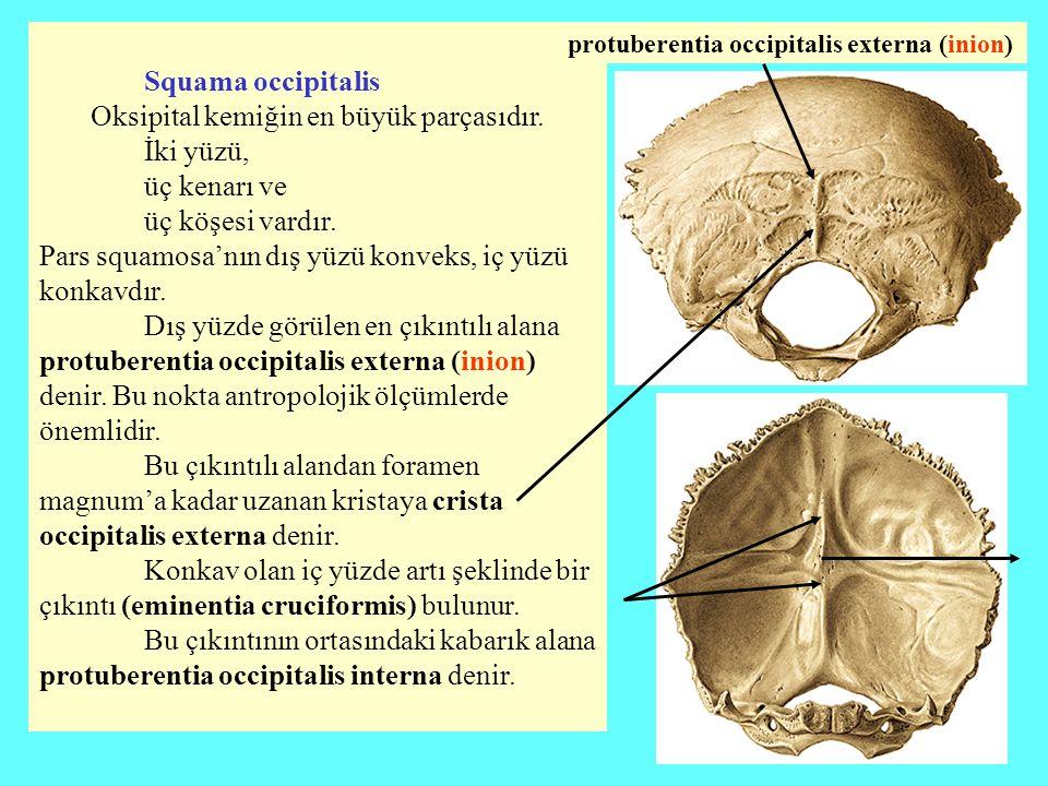 Oksipital kemiğin en büyük parçasıdır. İki yüzü, üç kenarı ve