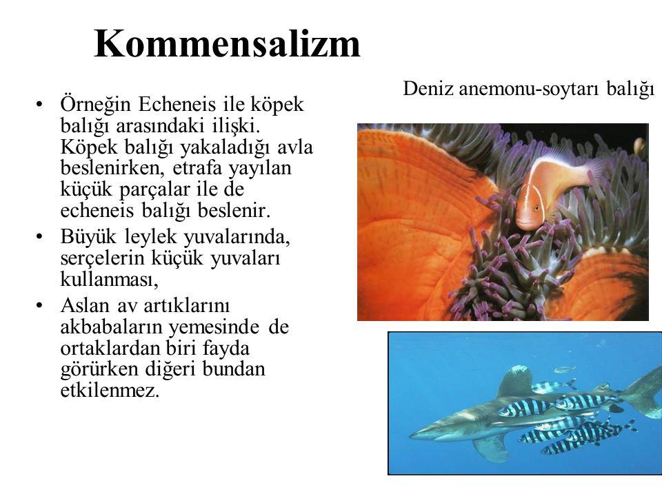 Kommensalizm Deniz anemonu-soytarı balığı.