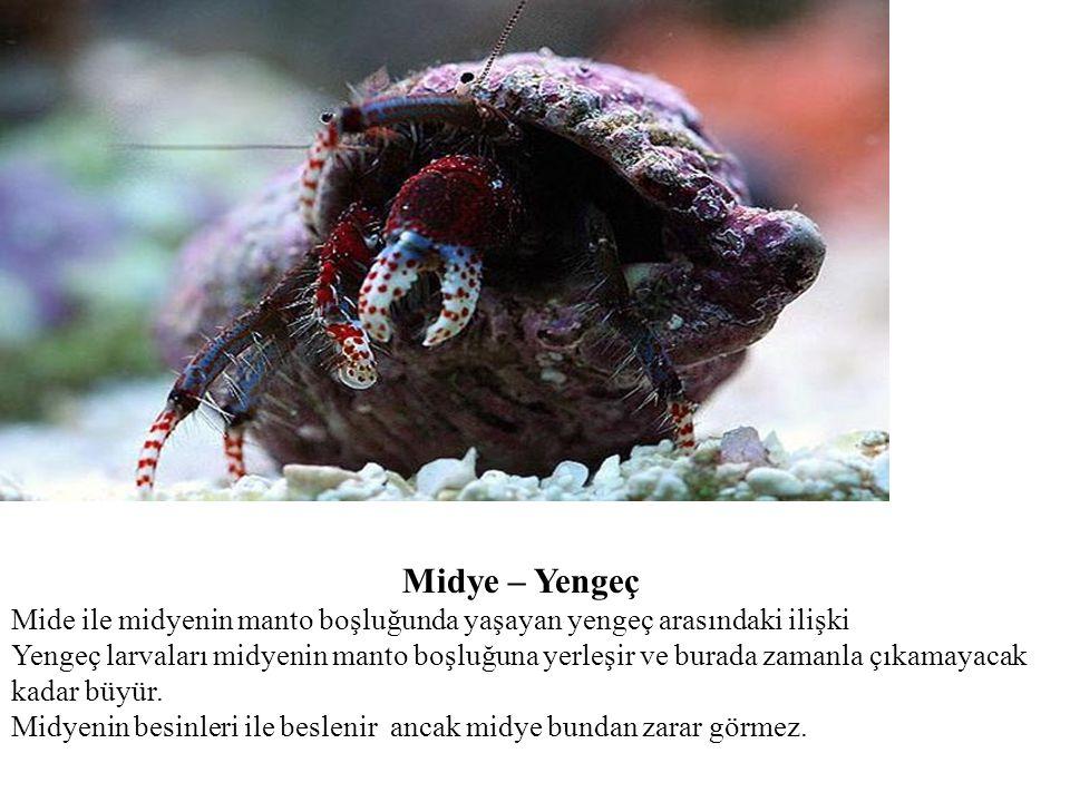 Midye – Yengeç Mide ile midyenin manto boşluğunda yaşayan yengeç arasındaki ilişki.