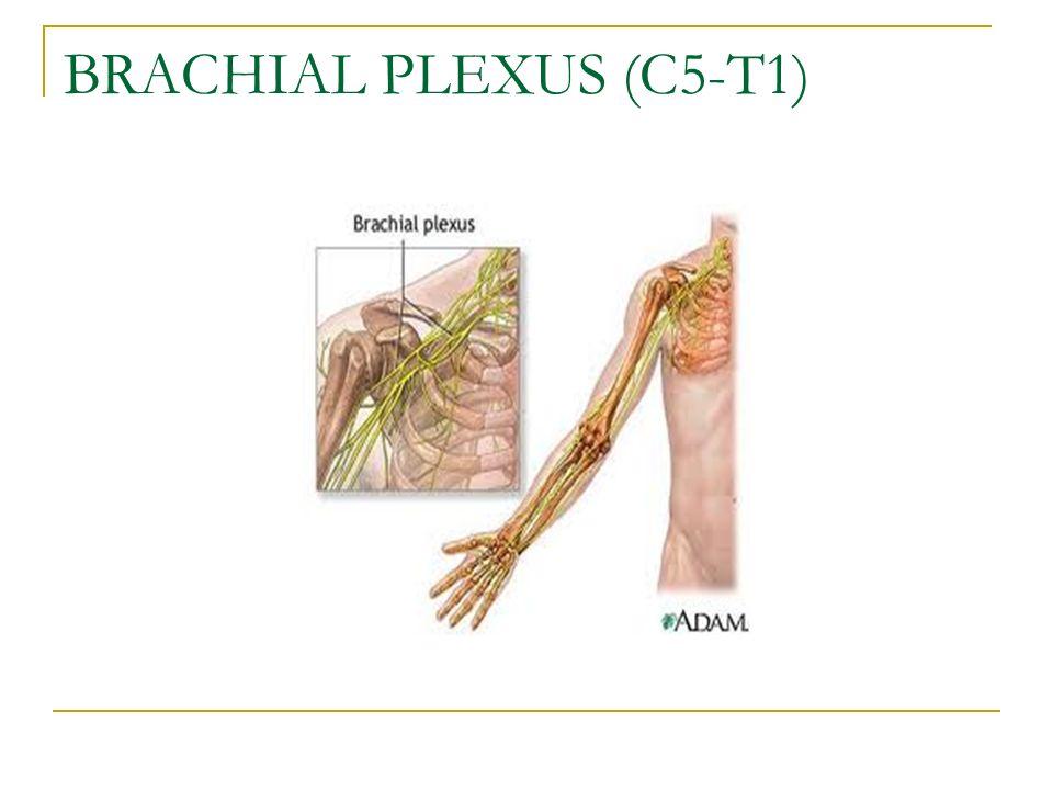 BRACHIAL PLEXUS (C5-T1)