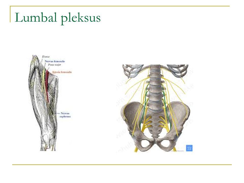 Lumbal pleksus