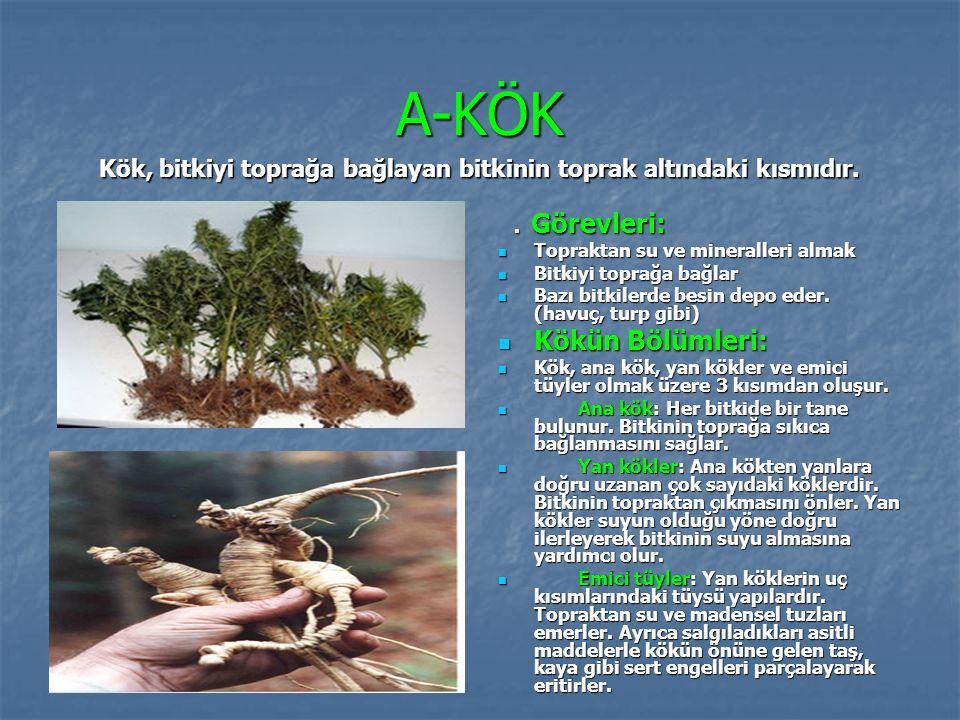 A-KÖK Kökün Bölümleri: