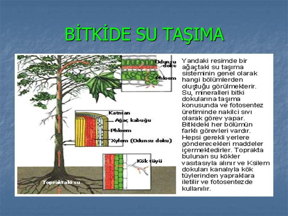 BİTKİDE SU TAŞIMA