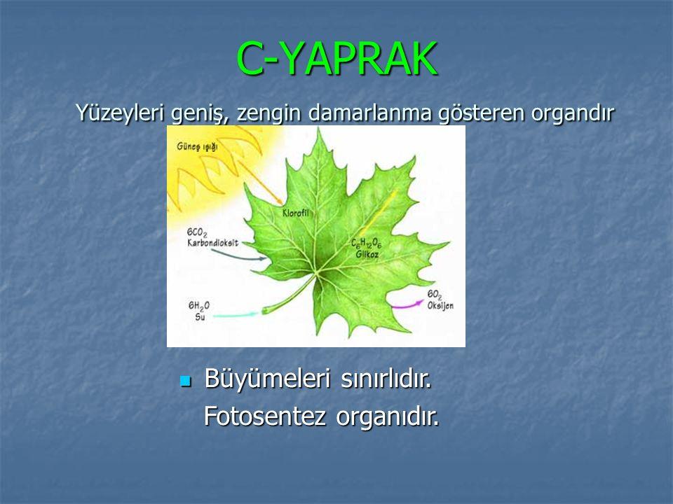 C-YAPRAK Yüzeyleri geniş, zengin damarlanma gösteren organdır