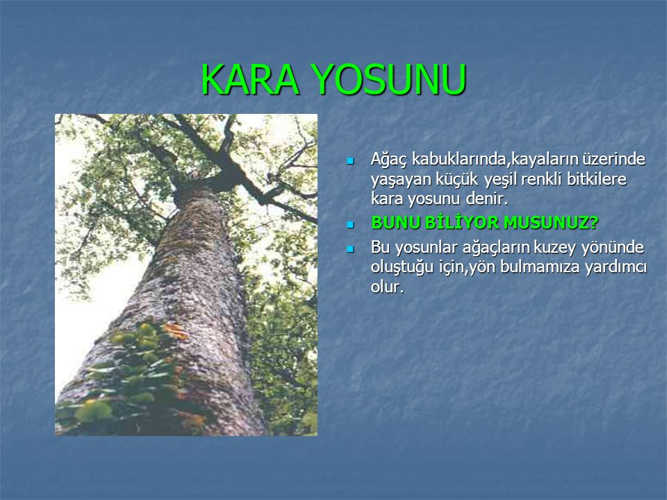 KARA YOSUNU Ağaç kabuklarında,kayaların üzerinde yaşayan küçük yeşil renkli bitkilere kara yosunu denir.