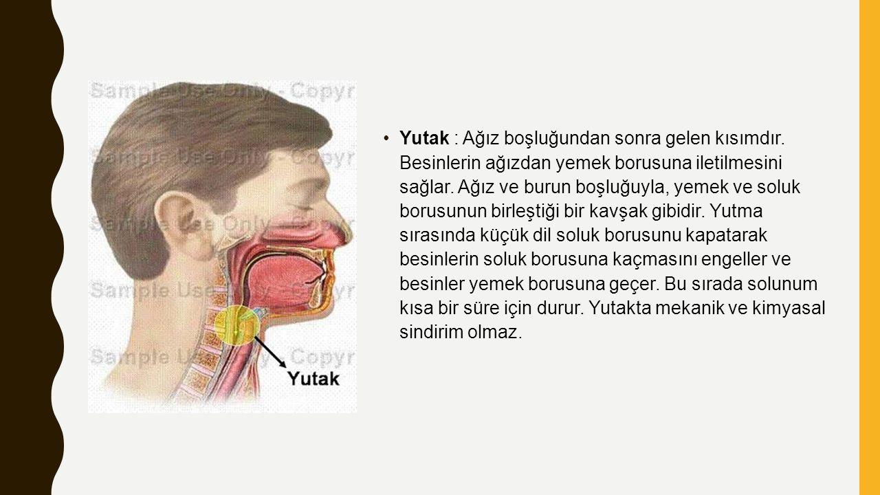 Yutak : Ağız boşluğundan sonra gelen kısımdır