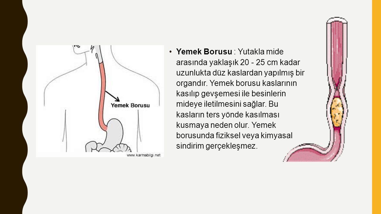 Yemek Borusu : Yutakla mide arasında yaklaşık 20 - 25 cm kadar uzunlukta düz kaslardan yapılmış bir organdır.