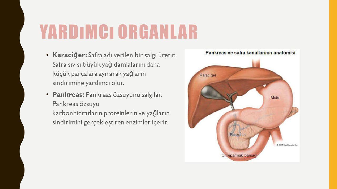 Yardımcı organlar