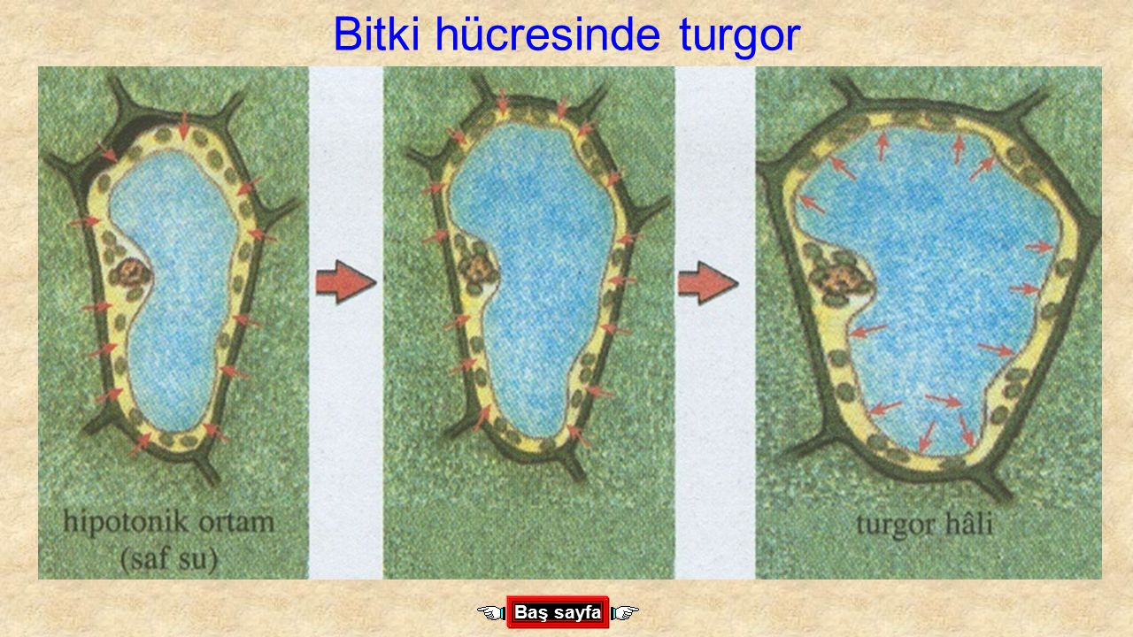 Bitki hücresinde turgor