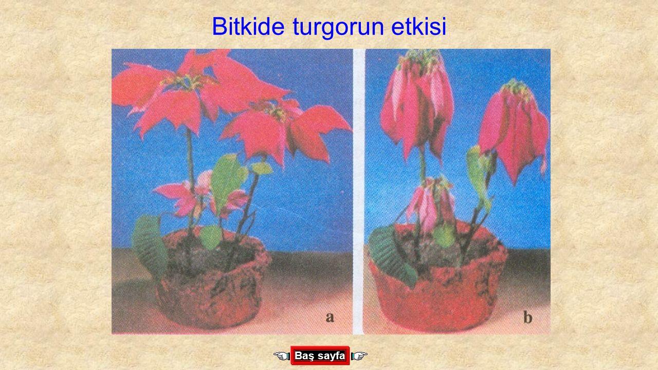 Bitkide turgorun etkisi