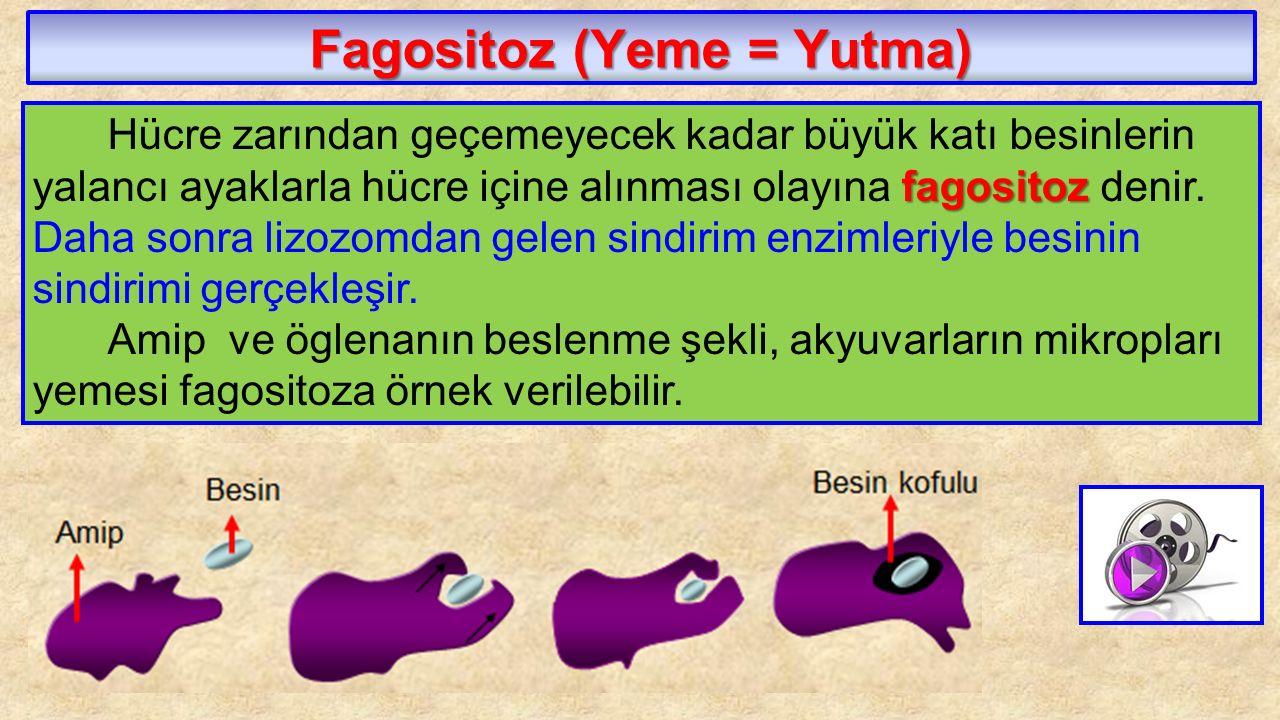 Fagositoz (Yeme = Yutma)