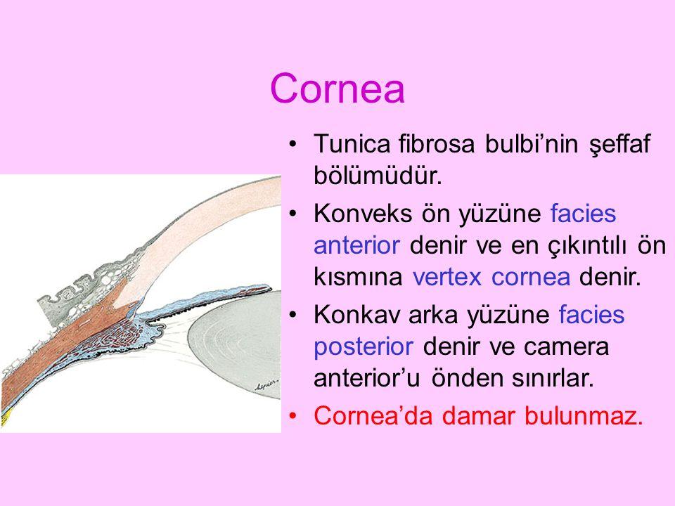 Cornea Tunica fibrosa bulbi'nin şeffaf bölümüdür.