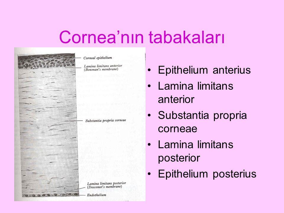 Cornea'nın tabakaları