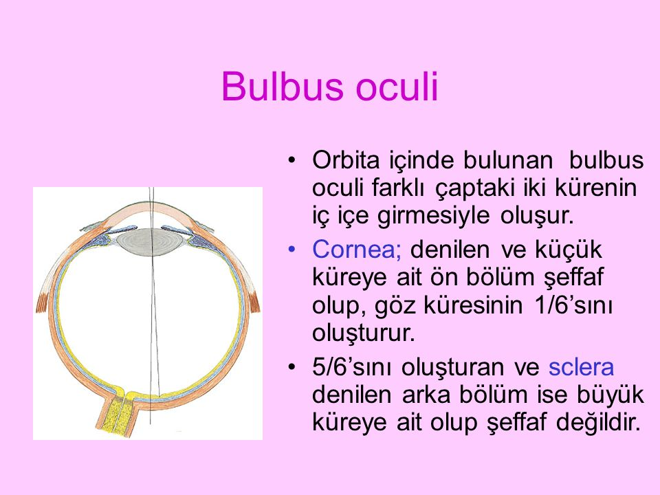 Bulbus oculi Orbita içinde bulunan bulbus oculi farklı çaptaki iki kürenin iç içe girmesiyle oluşur.