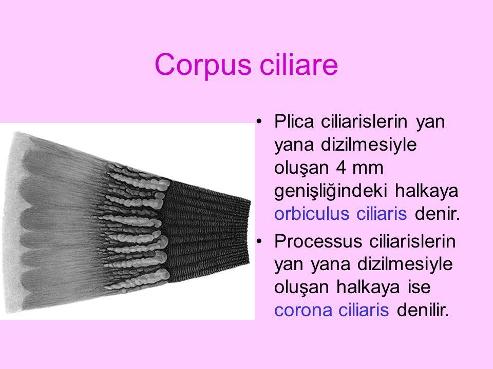Corpus ciliare Plica ciliarislerin yan yana dizilmesiyle oluşan 4 mm genişliğindeki halkaya orbiculus ciliaris denir.