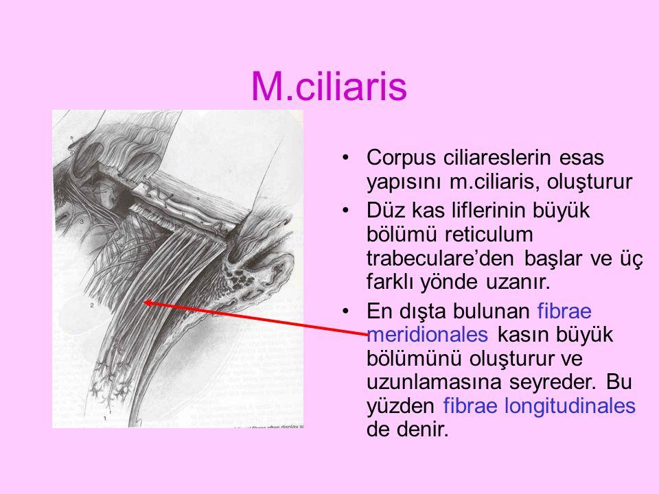 M.ciliaris Corpus ciliareslerin esas yapısını m.ciliaris, oluşturur