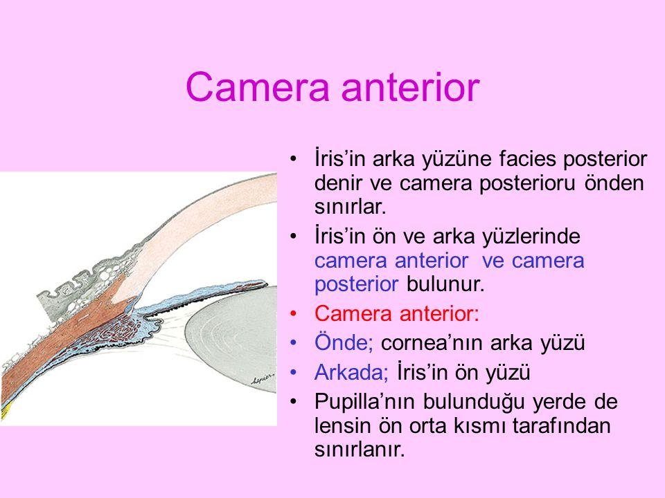 Camera anterior İris'in arka yüzüne facies posterior denir ve camera posterioru önden sınırlar.