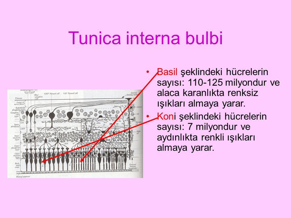 Tunica interna bulbi Basil şeklindeki hücrelerin sayısı: 110-125 milyondur ve alaca karanlıkta renksiz ışıkları almaya yarar.