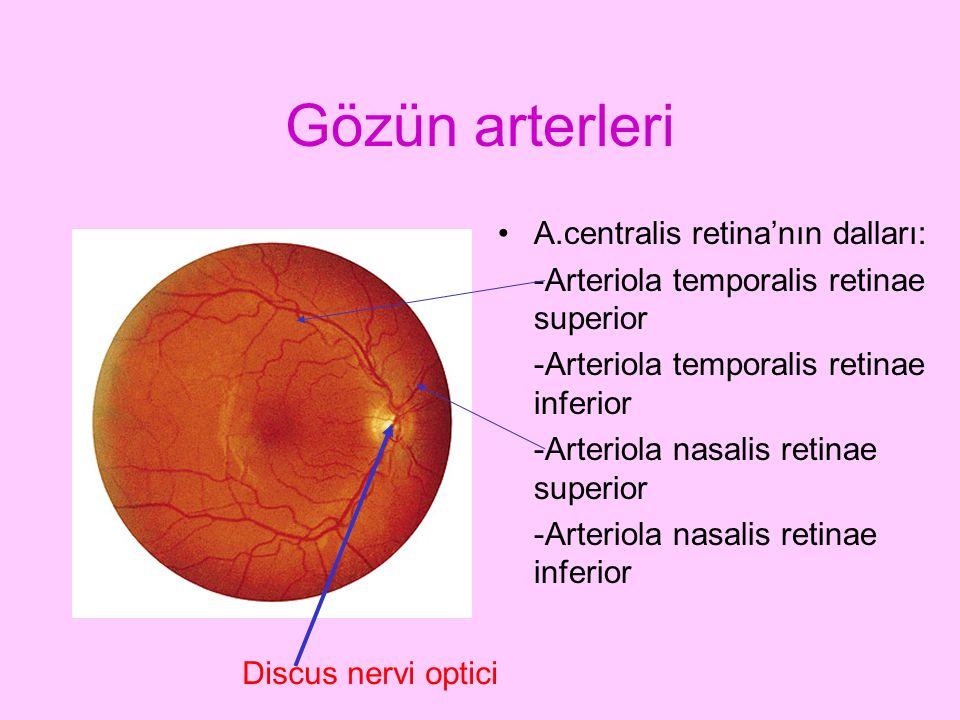Gözün arterleri A.centralis retina'nın dalları: