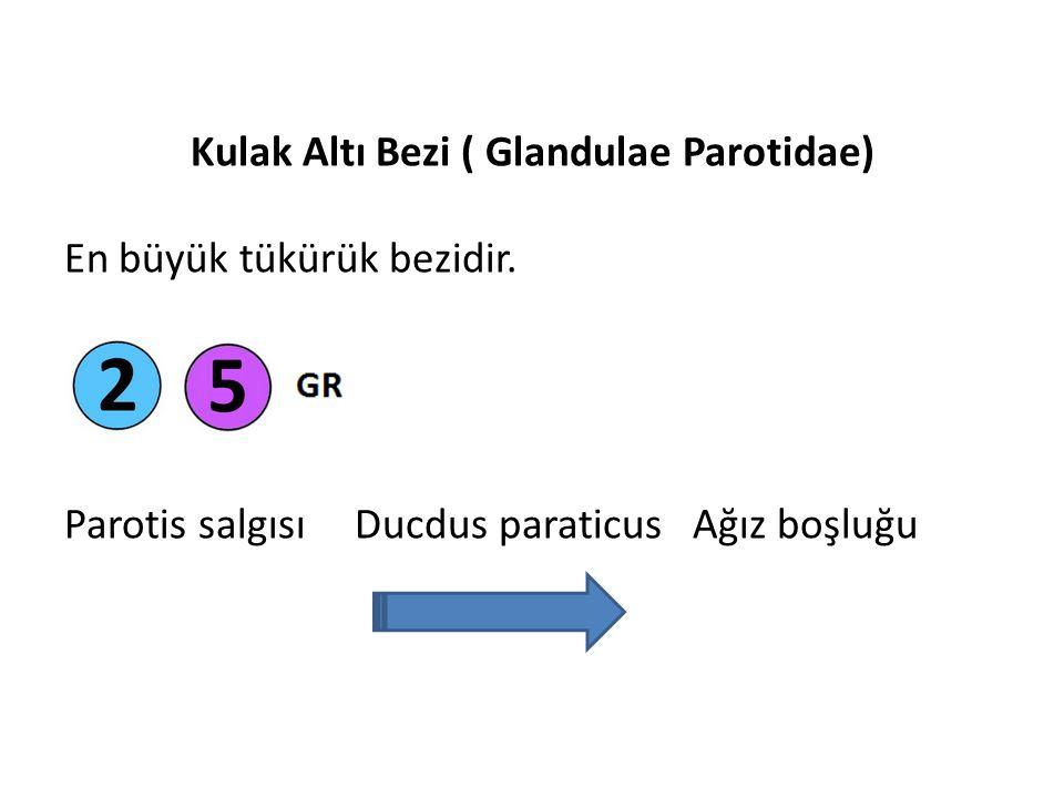 Kulak Altı Bezi ( Glandulae Parotidae)