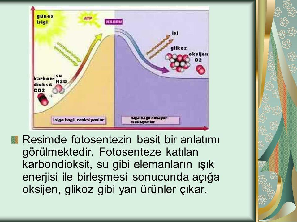Resimde fotosentezin basit bir anlatımı görülmektedir
