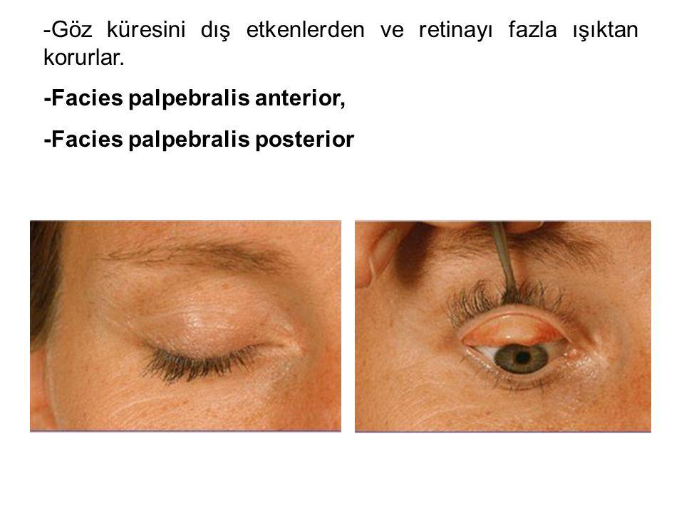 -Göz küresini dış etkenlerden ve retinayı fazla ışıktan korurlar.