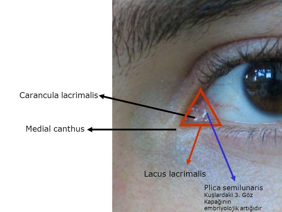 Carancula lacrimalis Medial canthus Lacus lacrimalis Plica semilunaris