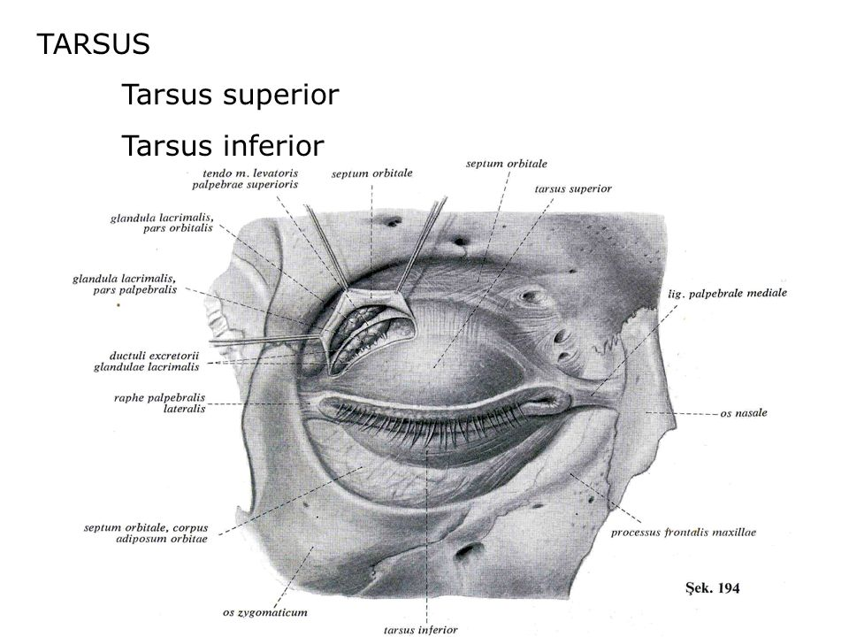 TARSUS Tarsus superior Tarsus inferior