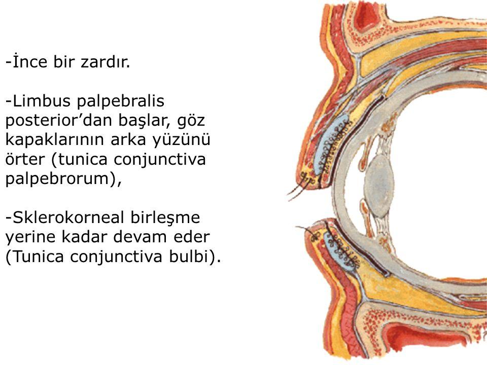 -İnce bir zardır. -Limbus palpebralis posterior'dan başlar, göz kapaklarının arka yüzünü örter (tunica conjunctiva palpebrorum),