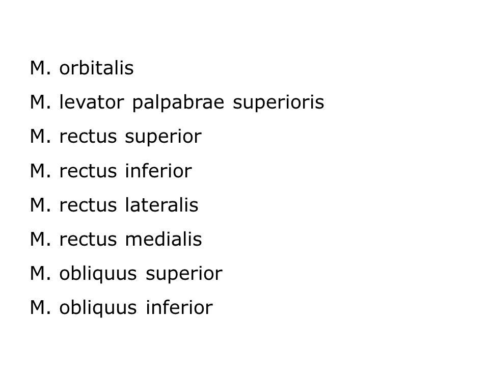 M. orbitalis M. levator palpabrae superioris. M. rectus superior. M. rectus inferior. M. rectus lateralis.