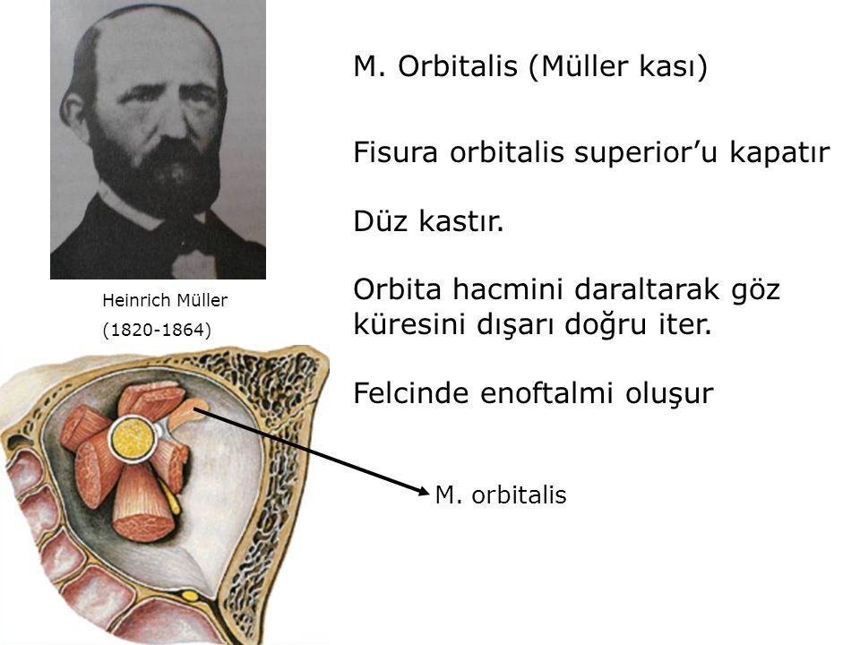 M. Orbitalis (Müller kası)