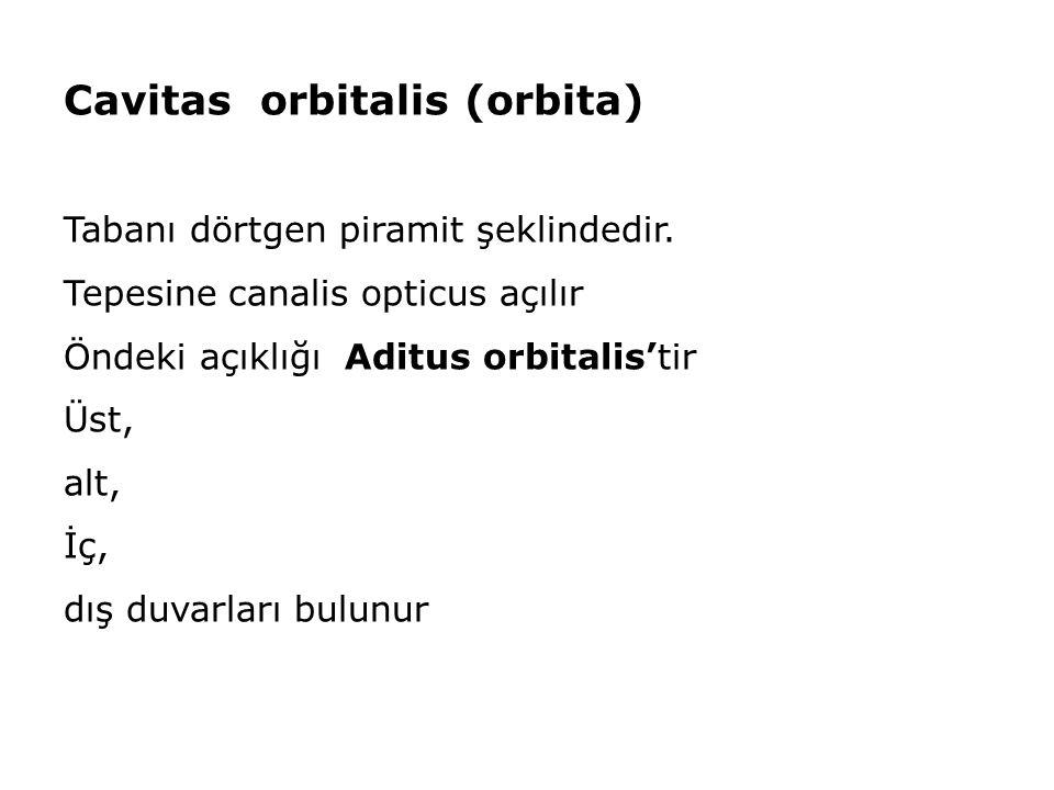 Cavitas orbitalis (orbita)