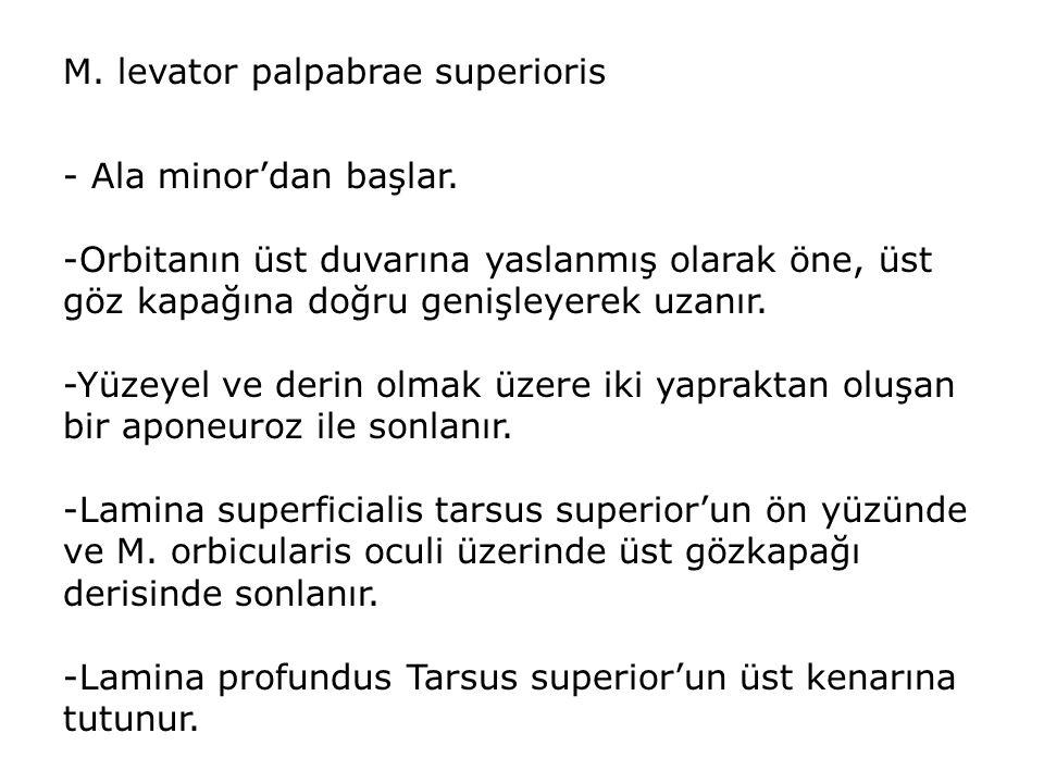 M. levator palpabrae superioris