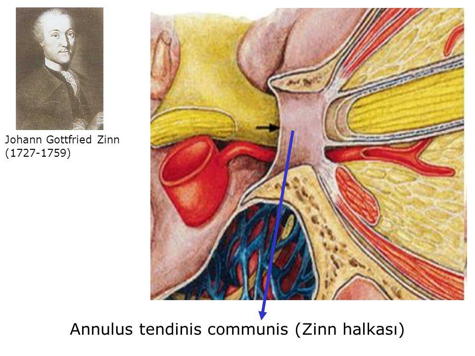 Annulus tendinis communis (Zinn halkası)