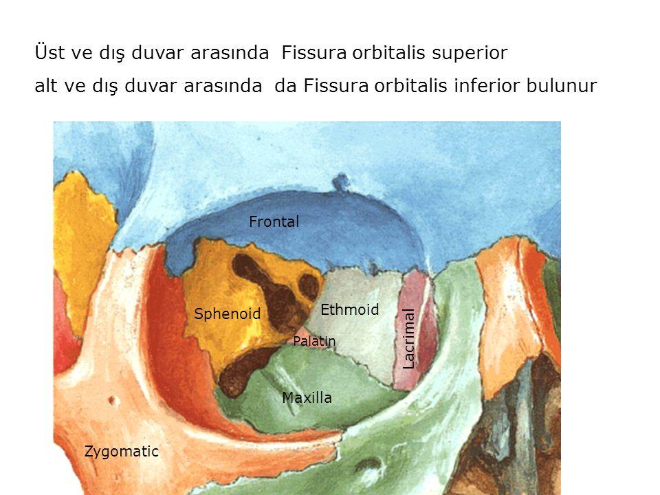 Üst ve dış duvar arasında Fissura orbitalis superior