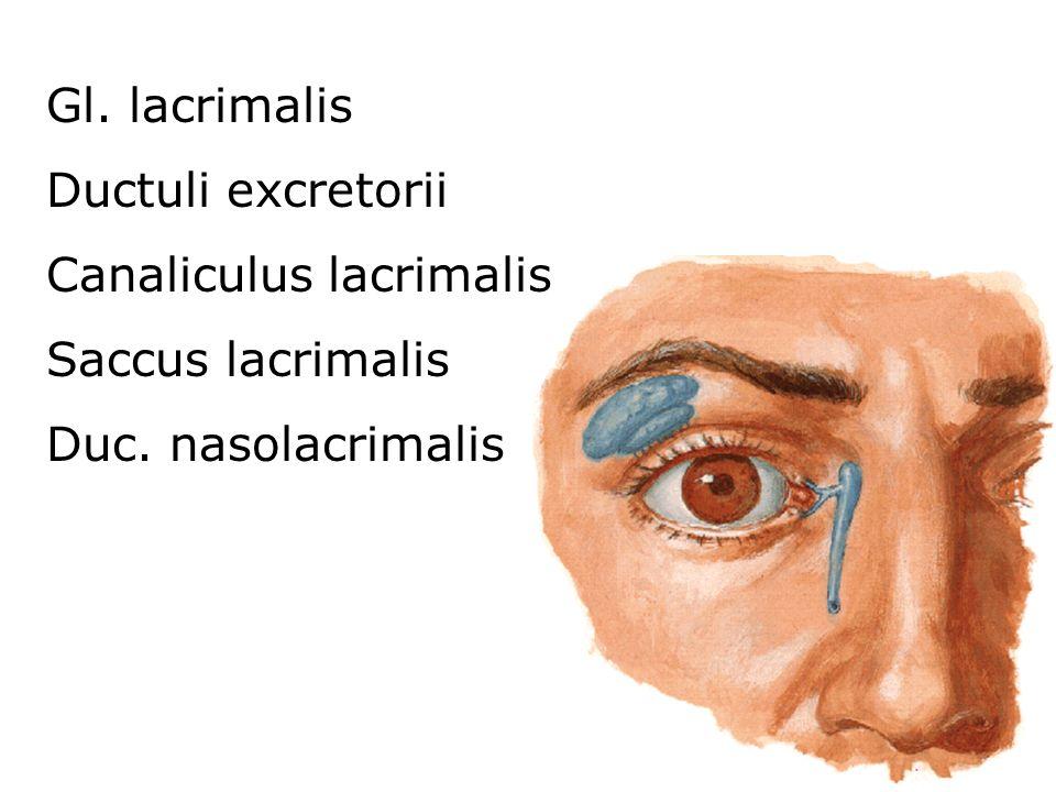 Gl. lacrimalis Ductuli excretorii Canaliculus lacrimalis Saccus lacrimalis Duc. nasolacrimalis