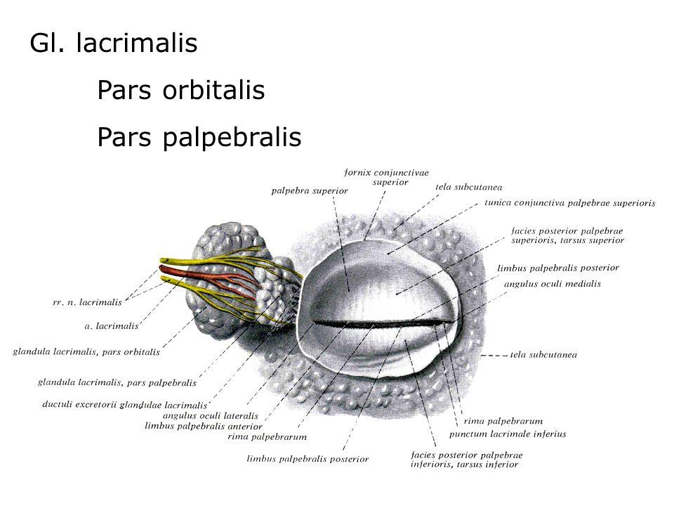 Gl. lacrimalis Pars orbitalis Pars palpebralis