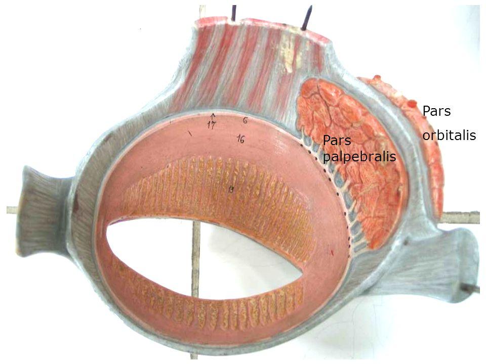 Pars orbitalis Pars palpebralis
