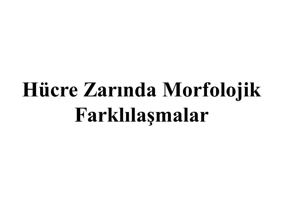 Hücre Zarında Morfolojik Farklılaşmalar