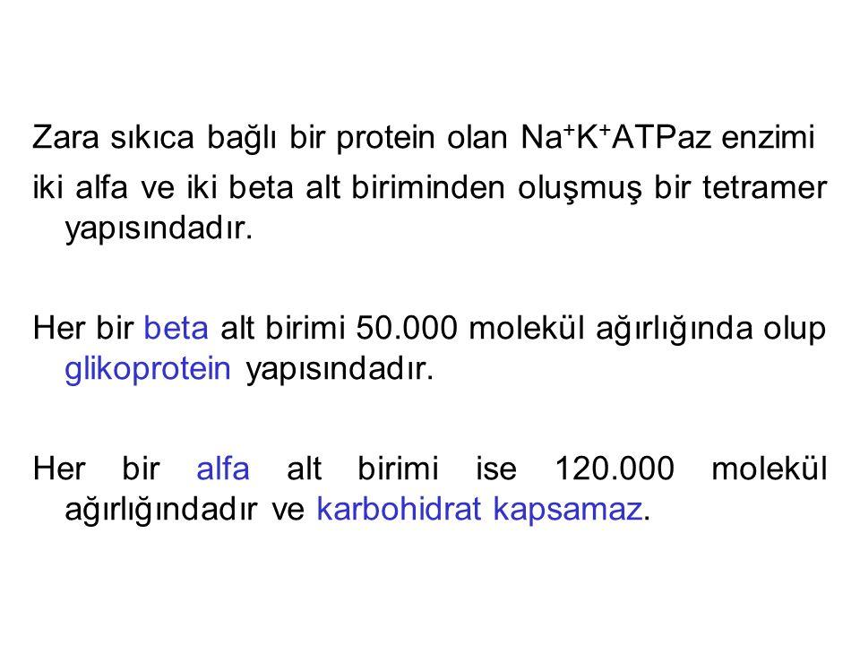 Zara sıkıca bağlı bir protein olan Na+K+ATPaz enzimi