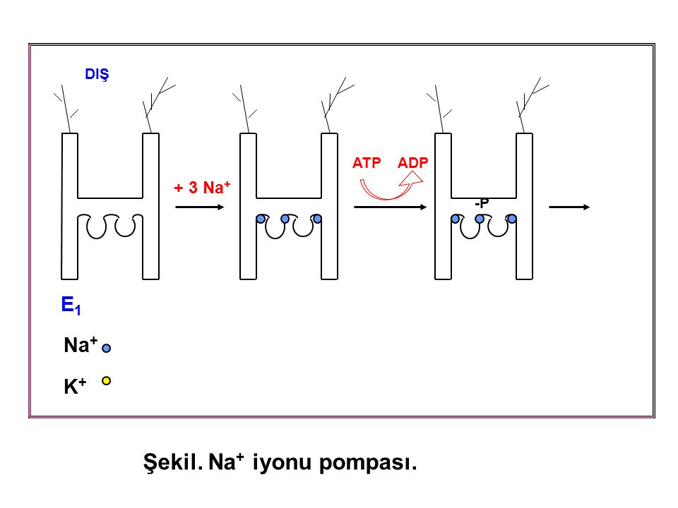 Şekil. Na+ iyonu pompası.