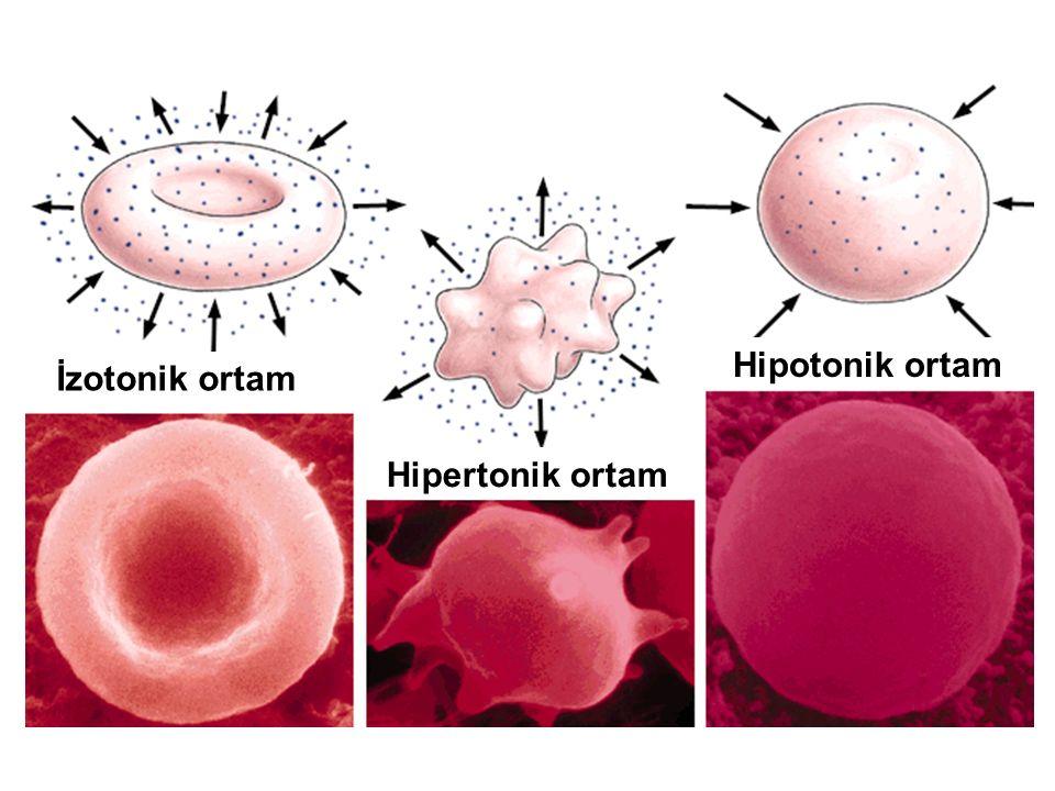 Hipotonik ortam İzotonik ortam Hipertonik ortam