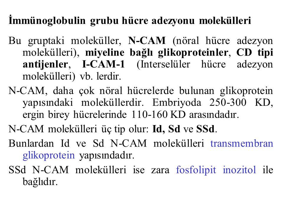 İmmünoglobulin grubu hücre adezyonu molekülleri