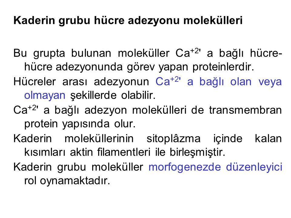 Kaderin grubu hücre adezyonu molekülleri