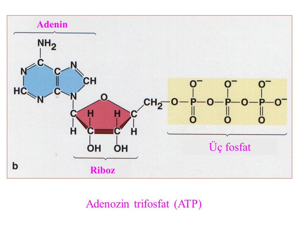 Adenozin trifosfat (ATP)