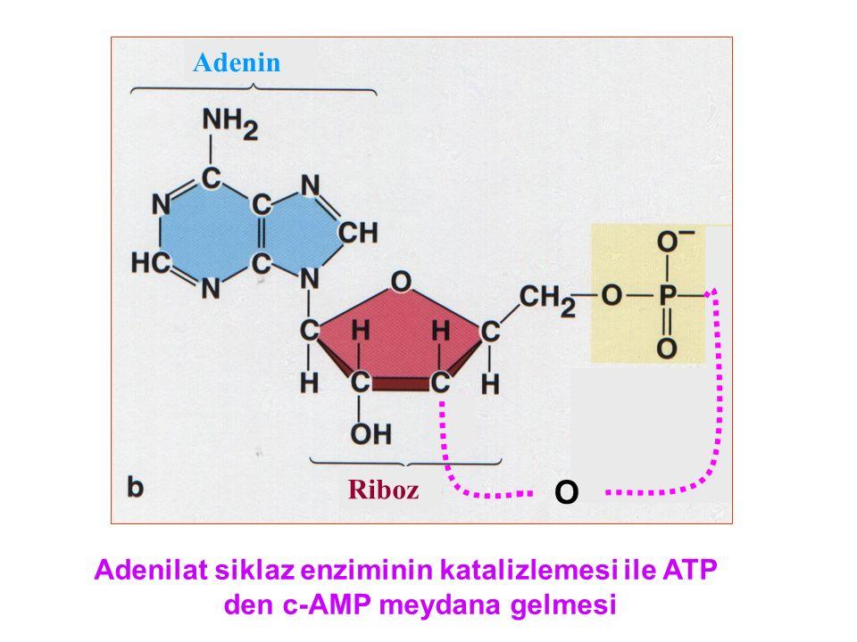 Adenin Riboz O Adenilat siklaz enziminin katalizlemesi ile ATP den c-AMP meydana gelmesi