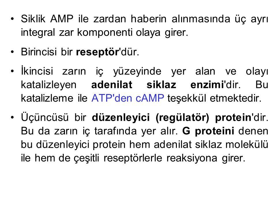 Siklik AMP ile zardan haberin alınmasında üç ayrı integral zar komponenti olaya girer.